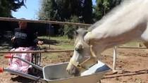 YARIŞ ATI - Kendisini Felçli Bırakan Atlardan Ayrılamıyor