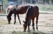 Faytonlar Kaldırılmıştı, O Atlar Artık İzmir Doğal Yaşam Parkında