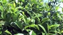 ÇAY ALIMI - ÇAYKUR 721 Bin Ton Yaş Çay Aldı