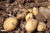 Sivas'ta Patates Hasadı Başladı