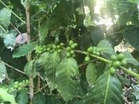 Antalya'da Türk Kahvesi Üretimi