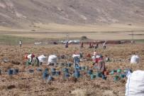 Yerli Tohumlar Patates Tohumu İthalatına Son Verecek