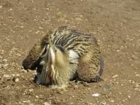 Bayburt'ta Balaban Kuşu Doğaya Salındı