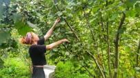 DERMATOLOJİ - Fındık Hasadında Böcek Isırmalarına Dikkat
