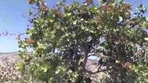 Karaman'da Antep Fıstığı, Yöre Halkının Geliri Oldu