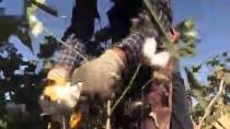 MUSTAFA DEMIR - 'Beyaz Altın'da Hasat Zamanı