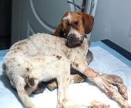 (Özel) Hasta Köpeği Tedavi Etmek İçin 450 Kilometre Yol Gittiler