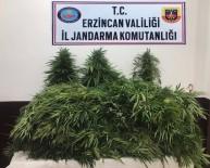 Erzincan'da 82 Adet Kök Kenevir Bitkisi Ele Geçirildi
