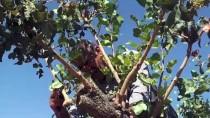 Terörden Temizlenen Bölgelerde Fıstık Ağaçları Yeşerecek