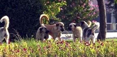 Sokak Köpekleri Vatandaşların Korkulu Rüyası Oldu