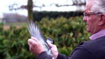FLAMAN - 1,4 Milyon Dolarlık Güvercinin Yavruları Şampiyon Olmak Üzere Yetişiyor