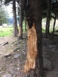 5 Liralık Çıra İçin 70 Yıllık Ağaçlara Böyle Zarar Verdiler