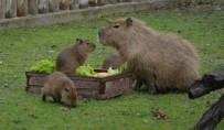 GÜNEY AMERIKA - Yavru Kapibaralar Hayvanat Bahçesinin Maskotu Oldu