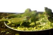 HAYVANAT BAHÇESİ - Bursa'da İguanaların Beslenme Saati