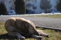 HAVA SICAKLIKLARI - Sokak Hayvanları Da Güneşli Havanın Tadını Çıkardı