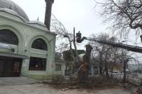 Asırlık Kavak Ağacı Çürümeye Yenik Düştü