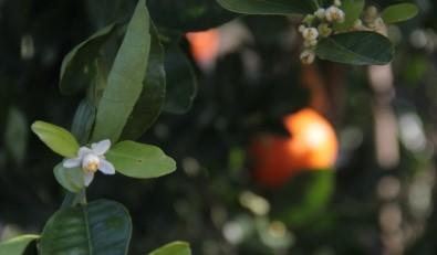 Mandalina Kış Ortasında Çiçek Açıp Meyve Verdi