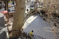 400 Yıllık Anıt Ağaç Güvenlik Gerekçesiyle Kesilecek