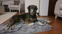 Silivri'de Kurşunlanan Ve Felç Kalan Köpekle İlgili Sevindirici Gelişme