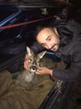 Avcıların Bulduğu Yaralı Karaca Tedavi Altına Alındı
