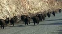 (Özel) Kara Yoluna Çıkan Domuz Sürüsünün Şaşırtıcı Görüntüsü
