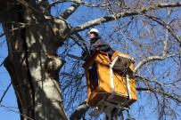 400 Yıllık Anıt Ağaçta Özel Ekip Çalışma Başlattı