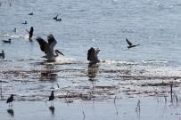 Beyşehir Gölü'nde Pelikanların Yiyecek Arayışı İlgi Çekti