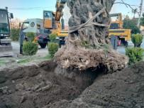 ZEYTİN AĞACI - Bin Yıllık Zeytin Ağacı Yeni Yerine Taşındı