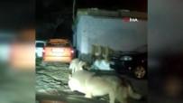Kazakistan'da Aç Kalan Kurtlar Şehre İndi