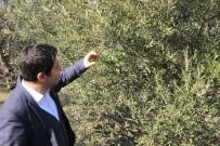 ZEYTINLIK - Zeytinlikler Kuraklık Stresi Tehdidi Altında