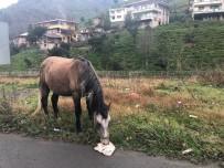 ÇORUH - Gürcistan Sınırını Geçen Atların Durumu İçler Acısı