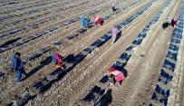 MEHMET AKıN - Yılın İlk Karpuz Fideleri Ekildi