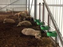 SARıLAR - Çiftlikte 320 Koyun Telef Oldu