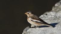 En Nadir Kuş Türlerinden 'Alaca Çinte' 4 Yıl Sonra İlk Kez Görüntüledi