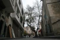250 Yıllık Tarihi Çınar Ağacı Caddeye Renk Katıyor