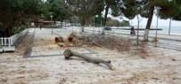 Sinop Belediyesinin Ağaç Bakım Çalışmaları