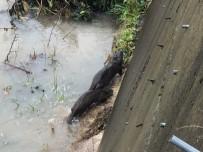 KURBAĞA - Nesli Tükenme Tehlikesi Altında Bulunan 'Su Samuru' Giresun'da Görüntülendi