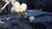 VIYANA - Avusturya'da Yavru Kutup Ayısı İlk Defa Görücüye Çıktı