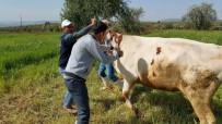 KADıOĞLU - Büyükbaş Hayvanlara Şap Aşıları Yapılmaya Başlandı