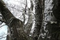 (Özel)  'Künye Ağaç' Bakım Bekliyor