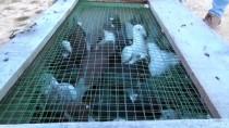 GÖLBAŞI - Posta Güvercinleri 'Eve Dönüş' Antrenmanıyla Yarışlara Hazırlanıyor