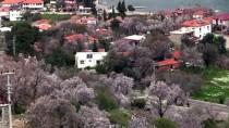METEOROLOJI - Marmaris'te Badem Ağaçları Çiçek Açtı