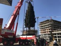 ALIŞVERİŞ MERKEZİ - 55 Yıllık Selvi Ağacı İşte Böyle Taşındı