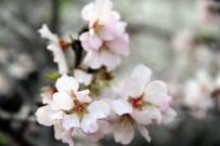 FESTIVAL - Datça Badem Çiçeği Festivali Sona Erdi
