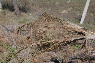 Çam kese kurtları ağaçlara zarar veriyor