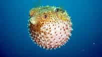 KANSER İLACI - Balon Balığının Avlanma Yasağı Kaldırıldı