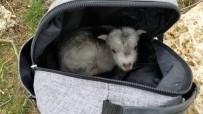 MUNZUR - (Özel) Annesini Ayı Yiyen Keçi Yavrusunu Ölmekten Gazeteci Kurtardı