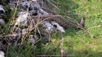 REHABİLİTASYON MERKEZİ - Burdur'da Bulunan 'Koca Engerek' Yılanı Şanlıurfa'da Doğaya Bırakıldı
