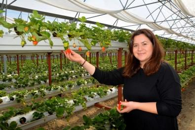 Genç Ziraat Mühendisi Söke Ovası'nı Topraksız Tarım Ve Çilekle Tanıştırdı