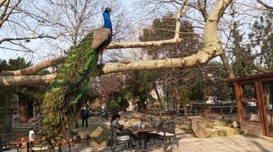 (Özel) Mahalleyi Tavus Kuşları Sardı